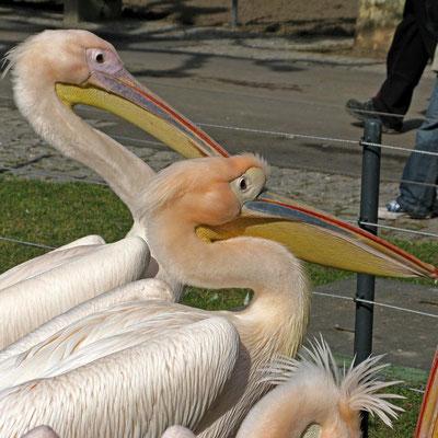 © Traudi  - Pelikane