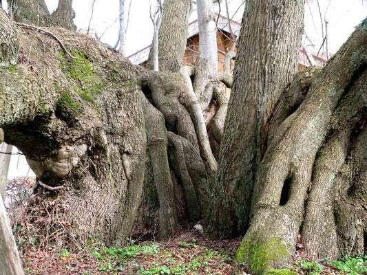 Foto 02.04.2010   Alter Baum beim Unteren Schloss