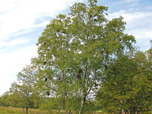 © Traudi – Moorbirke. Die Auswüchse sind keine Misteln. Es ist Wildwuchs der Birken selbst. Das kommt von einem kleine Pilz, der durch die Luftfeuchtigkeit begünstigt wird.