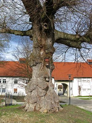 11.02.2016   (c) Traudi  -  knorriger Baum vor dem Eingang (Naturdenkmal)