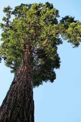 © Traudi - Mammutbaum am Ort des ehem. Schlösschens