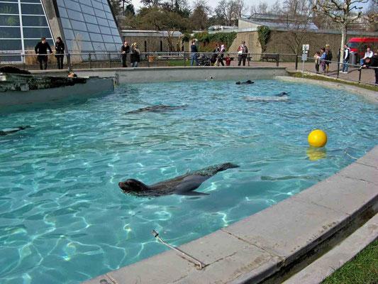 © Traudi - Der Seelöwensee fasst 375.000 l Wasser. Er wird jeden Donnerstag geleert u. gereinigt. 17 Std. später ist das Becken wieder gefüllt. Es strömen 6 l Wasser/sec (!) durch die Zuleitung ins Seelöwenbecken.