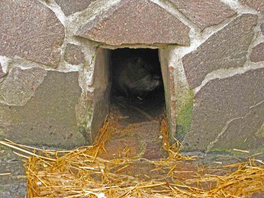 © Traudi  - Die Biberratte (Nutria) versteckte sich zuerst