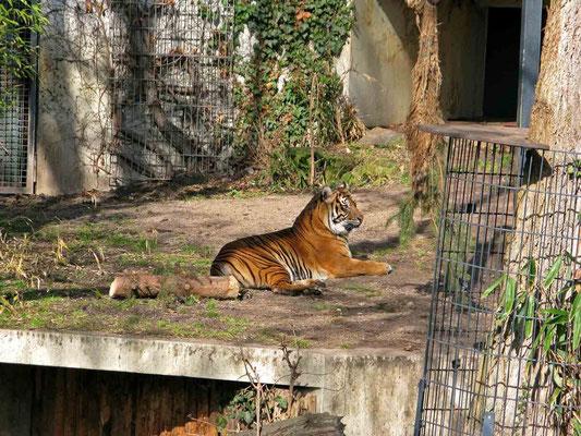 © Traudi - Sibirischer Tiger