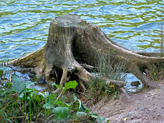 Baumstumpf am Ufer des Herrenbach-Stausees - © Traudi