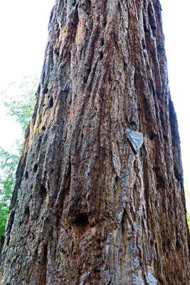 © Traudi - Der Stamm desMammutbaums