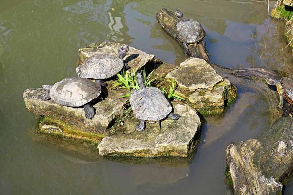 © Traudi - Die Schildkröten liegen alle auf den Steinen und lassen sich die Sonne auf die Panzer scheinen.