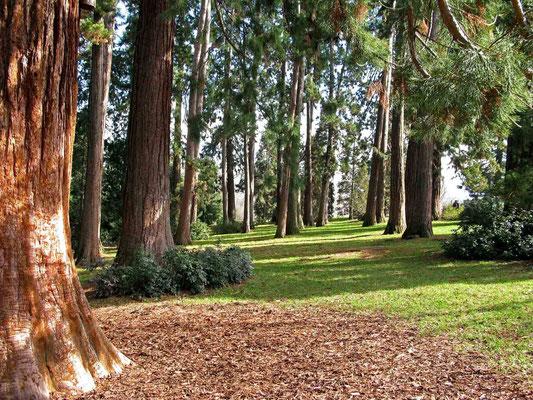© Traudi  - 70 teils über 140 Jahre alte Mammutbäume bildeten früher die Grenze der historischen Wilhelma zum Rosensteinpark.