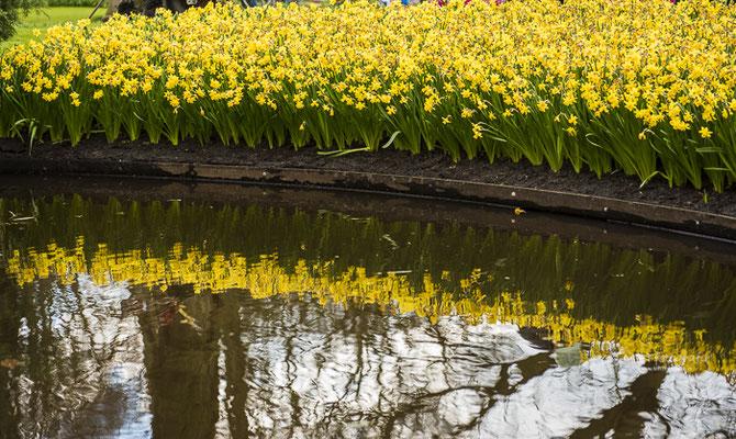 Gele narcissen met reflectie in het water. De Keukenhof
