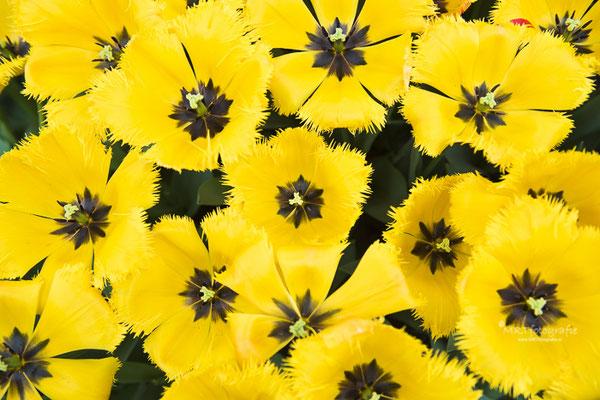 Gele tulpen. De Keukenhof