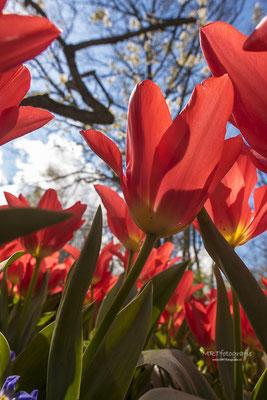 Rode tulpen. De Keukenhof