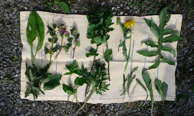 Essbare Wildpflanzen. Gründonnerstagskräuter Kurs 2017