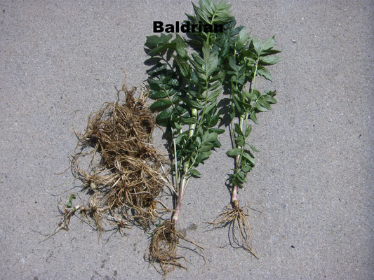 Baldrian mit Wurzel