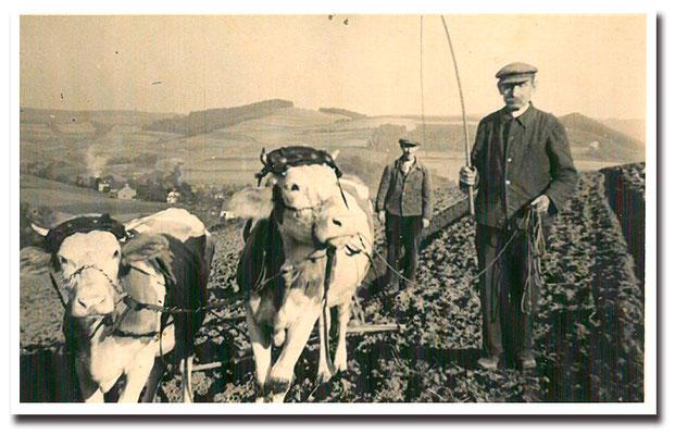 1942 - Opa Jakob (hinten) mit Ochsengespann