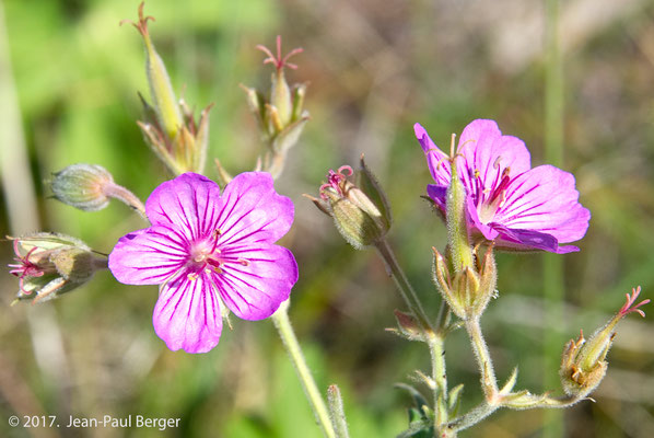 Yellowstone - Geranium