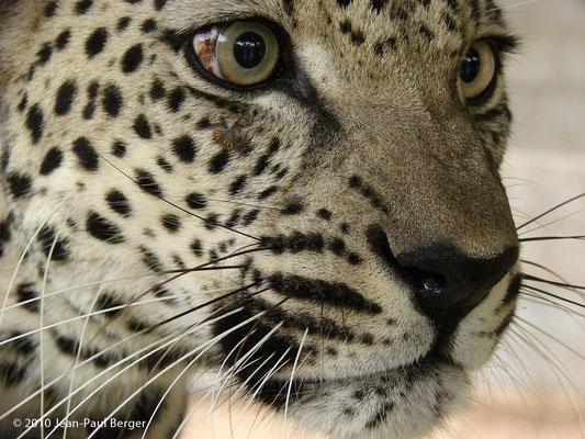 Le léopard d'Arabie