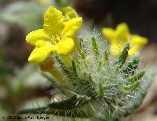 Arnebia hispidissima - Al Ghail