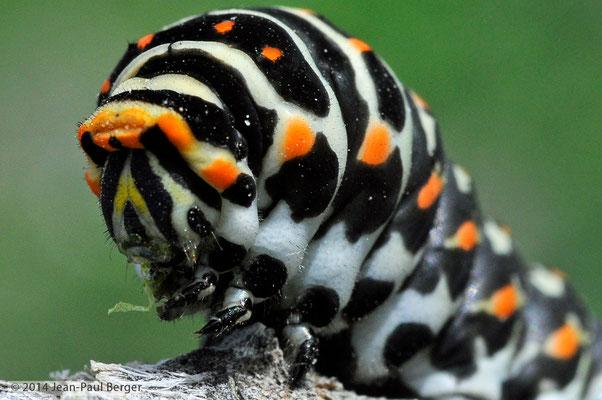Chenille de Papilio Machaon