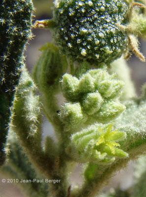 Chrozophora oblongifolia - Réservoir près de Munay (route de Kalba)