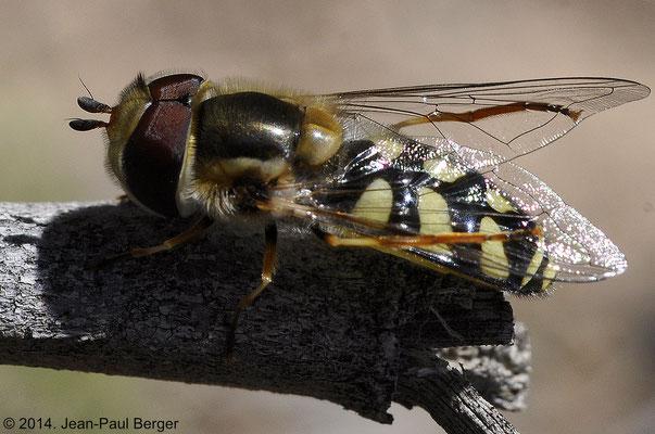 Eupeodes corollae (Syrphe)