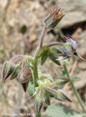 Tricodesma enetotrichum - Wadi Abadilah (maintenant autoroute)