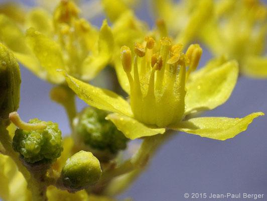 Haplophyllum tuberculatum - Wadi Sfay