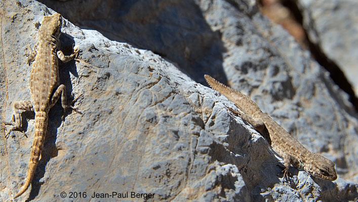 Pristurus minimus - Plateau du Saiq