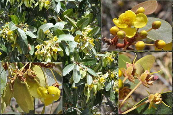 Acridocarpus - Montagnes au Sud-Est d'Ibri