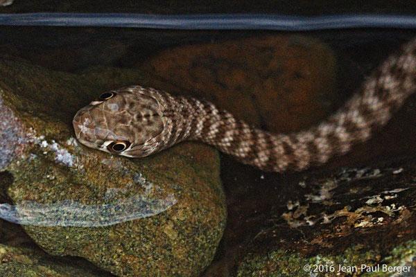 Platyceps_Rhodorachis (Wadi Racer) - Wadi Showka