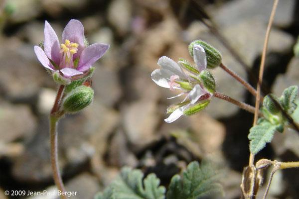 Erodium laciniatum - Al Ghail