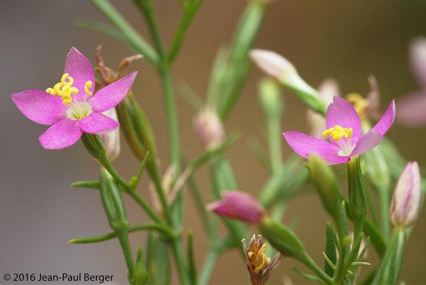 Centaurium pulchellum - Wadi Shawka
