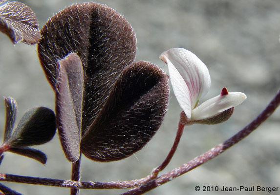 Argyrolobium roseum - Réservoir près de Munay (route de Kalba)