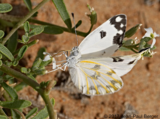 Anapheis aurota - Pied du Jebel Fayah