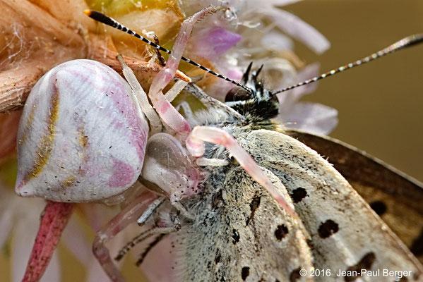 Thomisus onustus (Araignée-crabe) a capturé un Azuré - Réserve du Val d'Allier Chatel de Neuvre