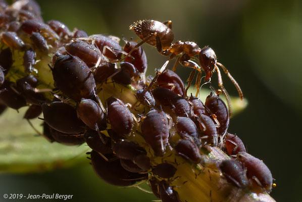 Fourmi dans une colonie de pucerons