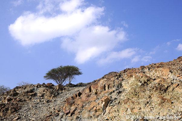 Acacia tortilis enraciné dans les anfractuosités rocheuses - Région de Sahaynah