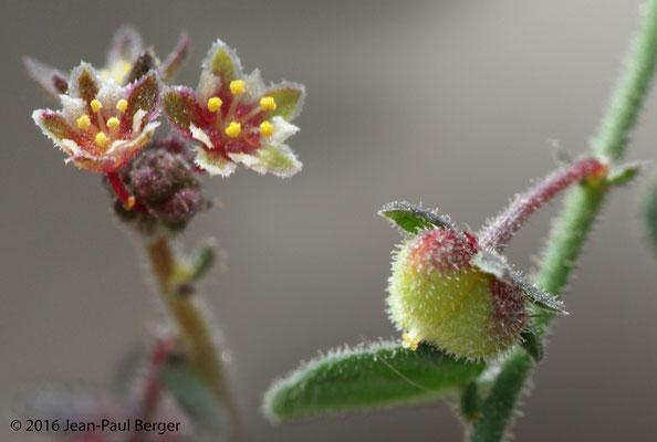 Andrachne telephioides - Wadi Sfay