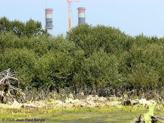 Mangrove à Ajman - Industrialisation et pollution aux nitrates (algues filamenteuses qui étouffent les pneumatophores des Avicennias)