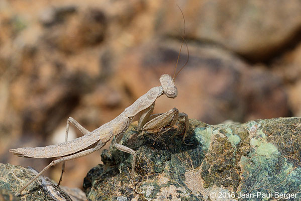 Eremiaphilis - Wadi Showka