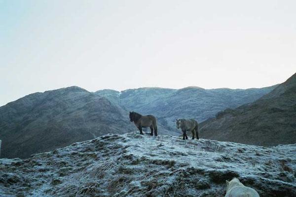 Ponys im Glen Shiel // (c)  Lössl