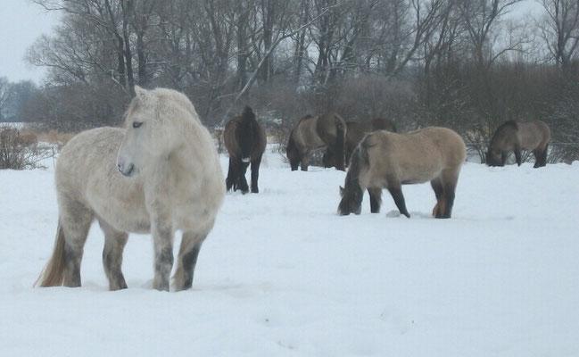 Skymuir Highlandponies im Schnee // (c) Linnemann