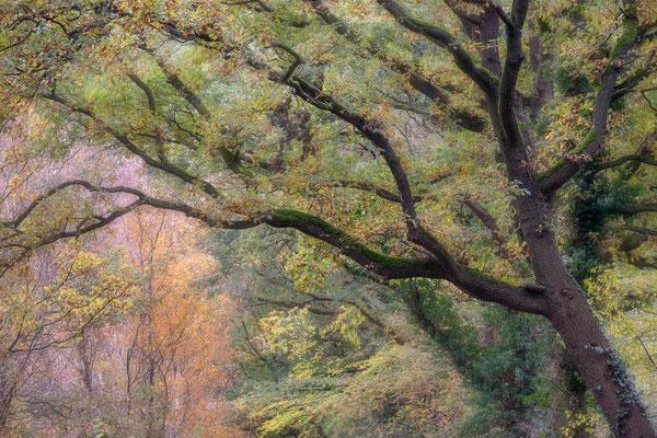 Boom in herfstkleuren, Vries - Tynaarlo © Jurjen Veerman