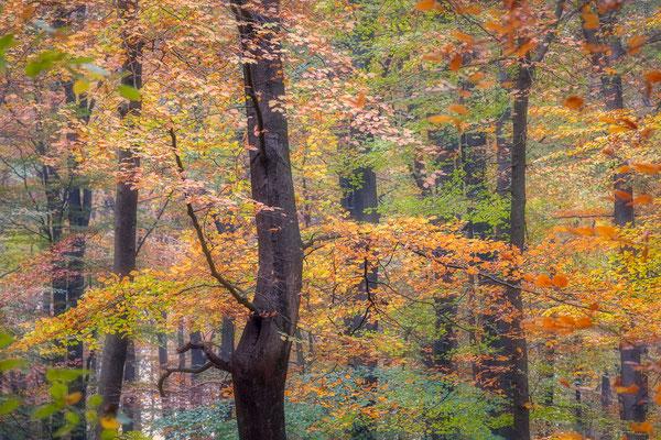Herfstkleuren bossen Grolloo © Jurjen Veerman