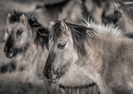 Konikpaarden - Lauwersmeer © Jurjen Veerman