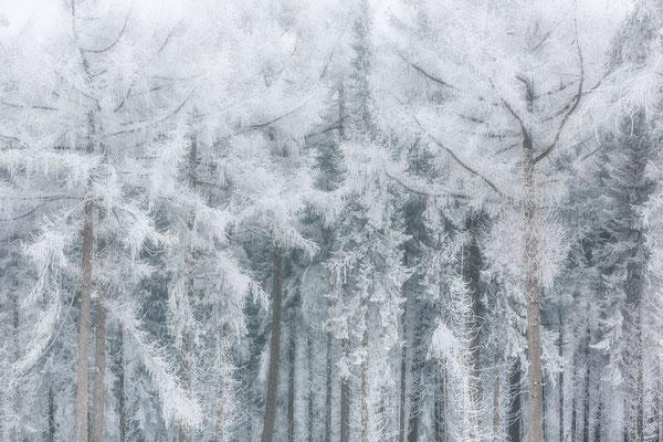 Naaldbomen bosrand - Fochteloerveen © Jurjen Veerman