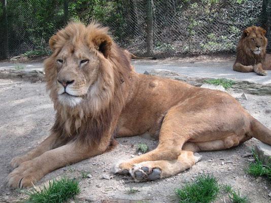 ライオンはやっぱり綺麗でした。