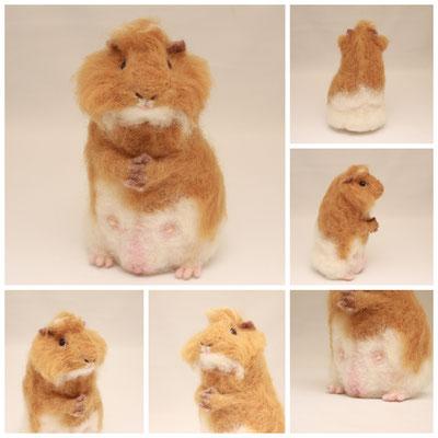 guinea pig ♂【Mohawk】