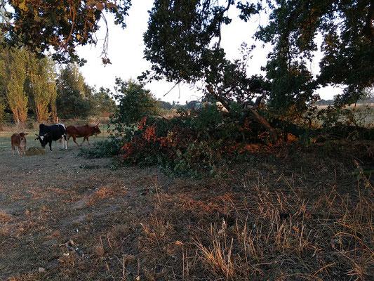 Die Zebus haben sic gerne um das ganze Laub gekümmert!