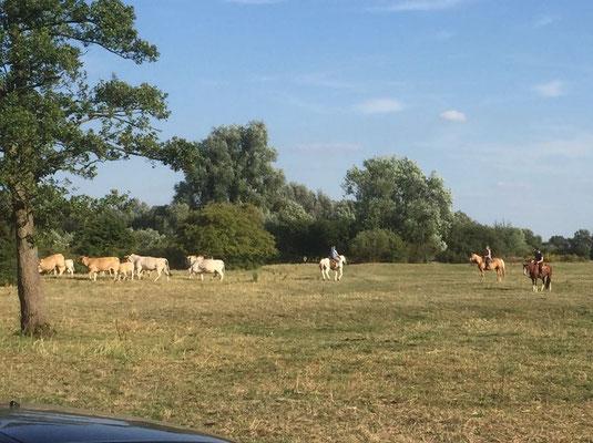 Rinderpacken bei Erwin
