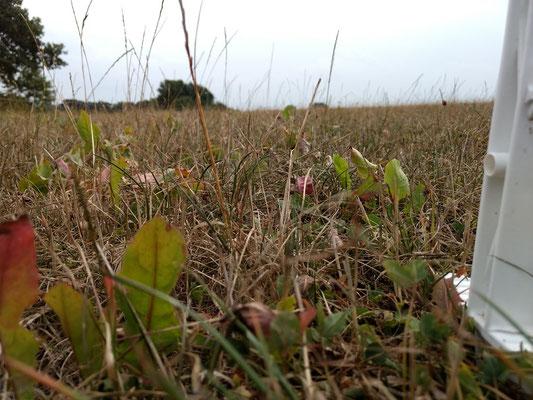 """Nach dem ersten Schnitt ist auf der Südweide nur """"Bonsai- Gras"""" gewachsen."""